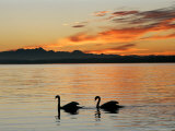 Two Swans Glide across Lake Chiemsee at Sunset near Seebruck  Germany