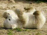 Polar Bear Cub  Berlin  Germany