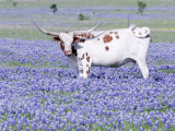 Longhorn Grazing on Bluebonnets, Midlothian, Texas Papier Photo par Pat Sullivan
