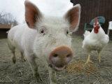 Pigs across America  Ravenna  Ohio