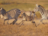 Zebras and Offspring at Sunset  Amboseli Wildlife Reserve  Kenya