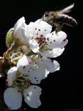 Bee and Pear Blossom  Bruchkoebel  Germany