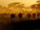 Wildebeests and Zebras at Sunset  Amboseli Wildlife Reserve  Kenya