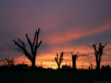Storm Damaged Trees Silhouetted against the Setting Sun  Greensburg  Kansas  c2007