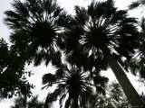 Sabal Palms near Border Fence  Brownsville  Texas