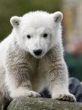 Sick Polar Bear Cub  Berlin  Germany
