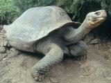 Giant Turtle  Santa Cruz Island  Galapogos Islands