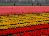 Workers amidst Fields of Tulips and Daffodils near Sint Maartensvlotbrug  Netherlands