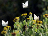 Butterflies Land on Wild Flowers at Boca Chica  Texas