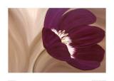 Velvet Poppy