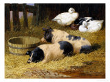 Saddleback Pigs and Ducks in a Farmyard