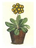 Pot of Auricula  c1800