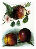 Study of Nectarines