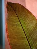 Regal Leaf I