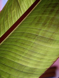 Regal Leaf II