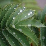 Dew Drops II
