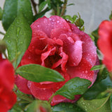 Rosey Dew Drops I