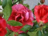 Rosey Dew Drops II