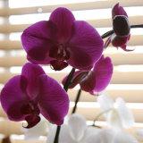 Purple Orchids I