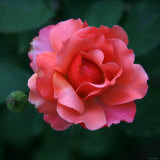 Sweet Rose II