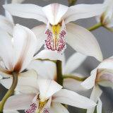 Orchid Closeup I