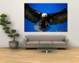 Bald Eagle (Haliaeetus Leucocephalus)  USA