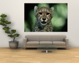 Portrait of a Juvenile African Cheetah