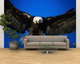 Bald Eagle (Haliaeetus Leucocephalus)  USA