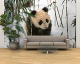Panda Cub on Snow  Wolong  Sichuan  China