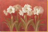 White Amaryllis on Red