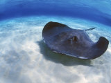 Stingray City  Grand Cayman  Cayman Islands  Caribbean