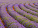 Curved Rows of Lavender near the Village of Sault  Provence  France