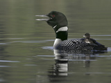 Common Loon Calling with Chick Riding on Back in Water  Kamloops  British Columbia  Canada
