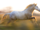 White Camargue Horse Running  Provence  France