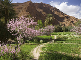 Spring Blooms  Todra Gorge Area  Morocco