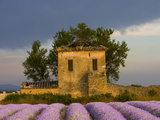 Field of Lavender and Abandoned Structure near the Village of Sault  Provence  France