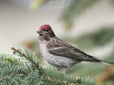 Close-up of Male Cassin&#39;s Finch in Pine Tree  Kamloops  British Columbia  Canada