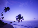 Lone Palm Trees at Sunset  Coconut Grove Beach at Cade's Bay  Nevis  Caribbean