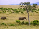 African Elephant Grazing in the Fields  Maasai Mara  Kenya