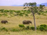 African Elephant Grazing in the Fields  Maasai Mara  Kenya