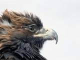 Female Golden Eagle  Golden Eagle Festival  Mongolia