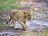 Lion Cub Walking in the Bush  Maasai Mara  Kenya