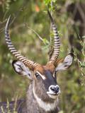 Male Water Buck  Maasai Mara  Kenya