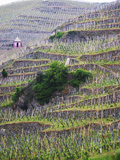 Vineyards in the Cote Rotie District  Ampuis  Rhone  France