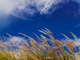 Rice Against Blue Sky in Metshina Village  Wangdi  Bhutan