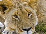 Male Lion in the Late Afternoon  Maasai Mara  Kenya