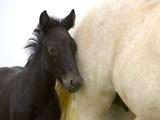 Detail of White Camargue Mother Horse and Black Colt, Provence Region, France Papier Photo par Jim Zuckerman