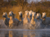 White Camargue Horse Running in Water  Provence  France