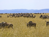 Wildebeest in the Maasai Mara  Kenya