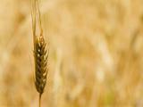 Closeup of Barley  East Himalayas  Tibet  China